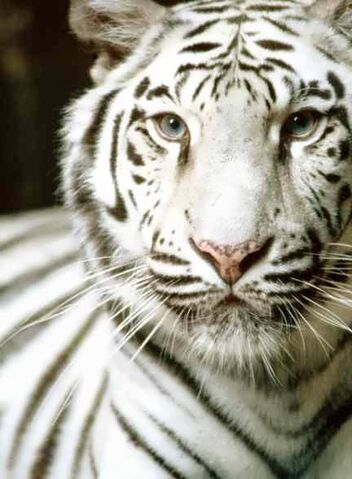 File:White tiger.jpg