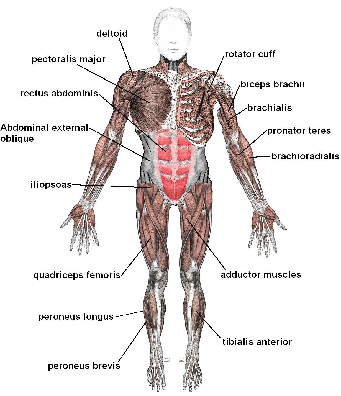 muscular system | athlepedia, the athletics wiki | fandom powered, Muscles