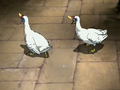 Turkey ducks.png