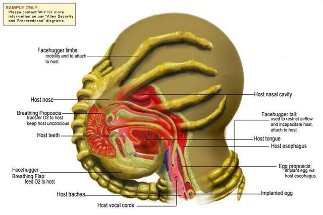 File:Facehugger Diagram.jpg