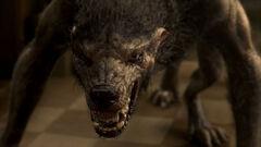 Josh's Wolf