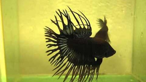 Video Betta Black Orchid Crowntail Male Betta Fish