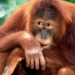 Not Wil Wheaton, a real orangutan.