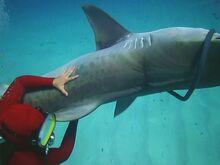 Deadly Music - Jaime battling a shark