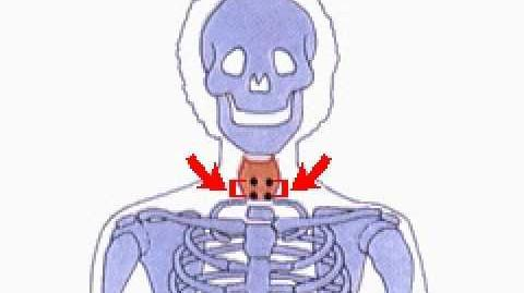 How the Body Works The 4 Parathyroid Glands