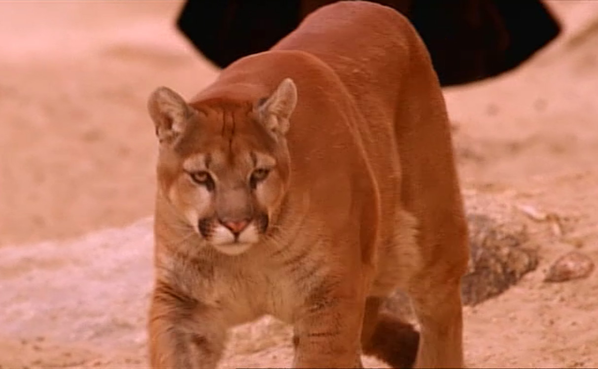 File:Guidemountainlion.jpg