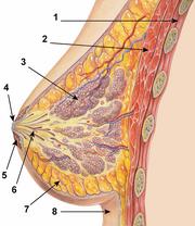 Breastanatomy