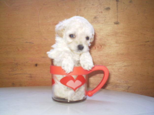 Ficheiro:Poodle micro toy.jpg