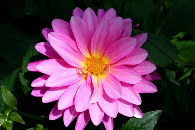 File:Beautiful-pink-flower.jpg