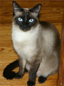 File:Personal TheCatFromMars Siamese cat.jpg