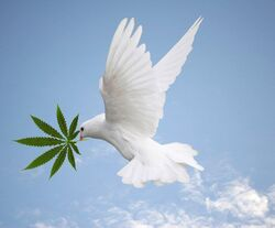 Dove with cannabis