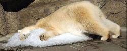 Argentinas only polar bear called worlds saddest
