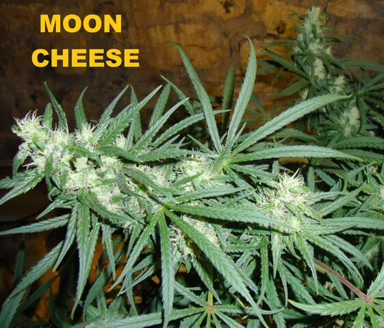 File:Moon cheese 005.JPG