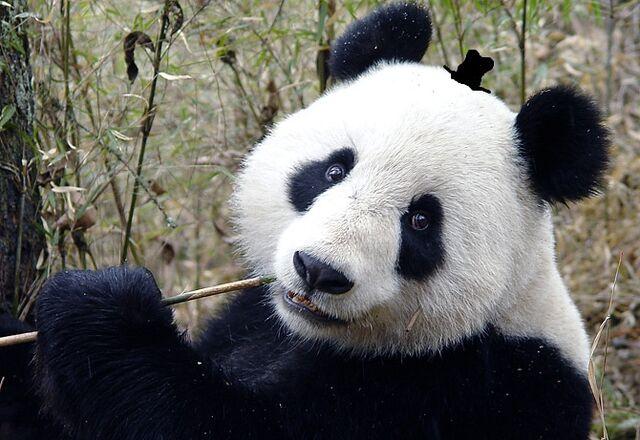 File:Panda0106.jpg