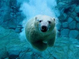 File:Oso polar.jpg