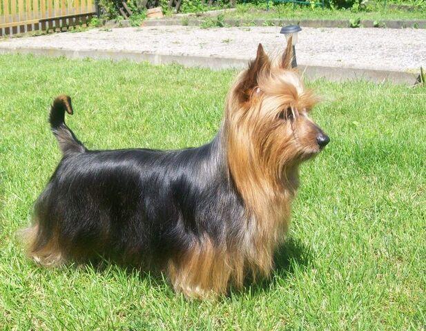 File:Australian-Silky-Terrier-Alana.jpg