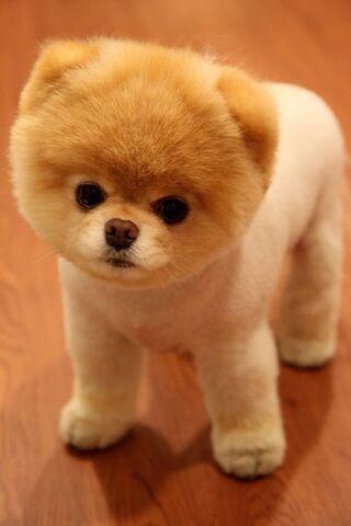 File:Teddy-bear-puppies.jpg