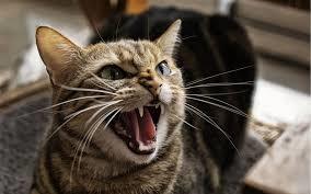 File:Pissed cat.png