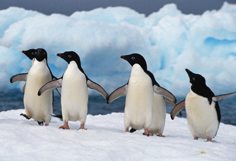 File:Penguins-dancing.jpg