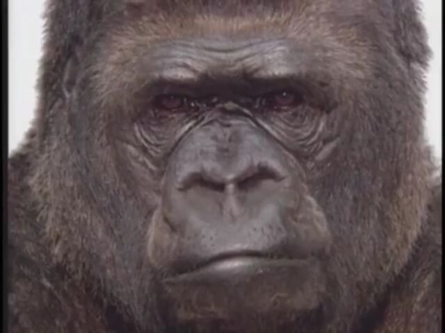 File:Koko the Gorilla.jpg