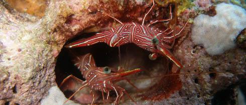 File:Dancing-shrimp.jpg