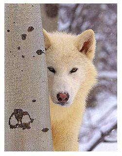 Cwc-white-wolf