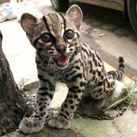 File:Tigercat.jpg