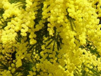 File:Mimosa.jpg