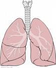 File:Lungs.png