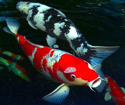 File:Real life Koi Fish.png