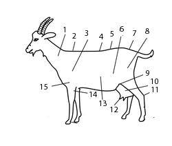 File:AnatomieChevre.png
