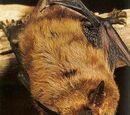 Murciélago moreno