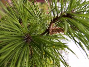 1031086 pinetree