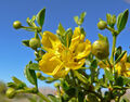 Creosote bush flower.jpg