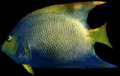 C3angelfish.png