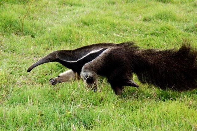 File:Giant Anteater 218 resize.jpg