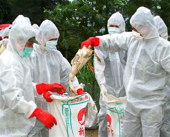 File:Bird flu.jpg