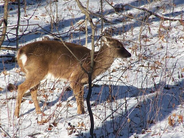 File:The deer by sulfide-d59ly48.jpg