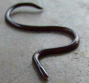 File:Blind-snake.jpg