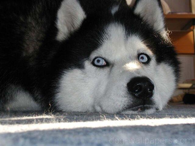 File:Cute-Husky-Siberiano-Dogs-Sleeping-Wallpapers.jpg
