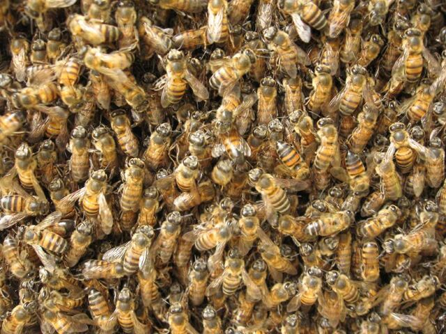 File:Swarm of bees at honeycomb1.jpg