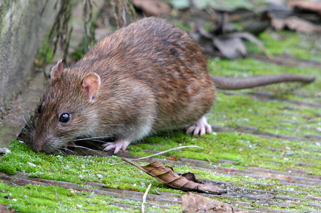 File:Brown rat.jpg