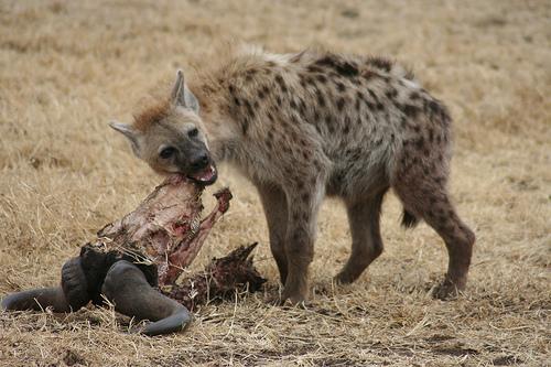 File:Hyena Serengeti.jpg