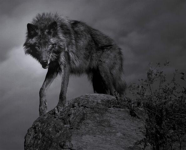 File:0909140621371wolf 82 r.jpg
