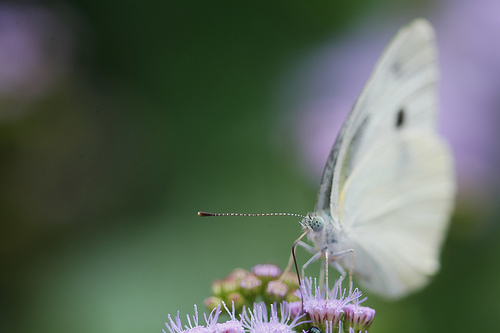 File:Cabbage Butterfly.jpg