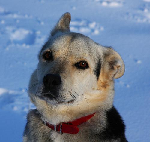 File:German Shepherd Husky Mix.jpg