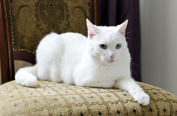 File:600px-odd-eyed-white-cat.jpg