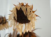 Wilted-sunflower