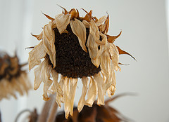 File:Wilted-sunflower.jpg