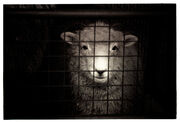 Sheep-cage